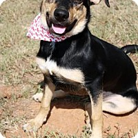 Manchester Terrier/Shepherd (Unknown Type) Mix Puppy for adoption in Norman, Oklahoma - Tansy