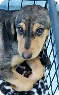 Hound (Unknown Type) Mix Puppy for adoption in Summerville, South Carolina - Arya