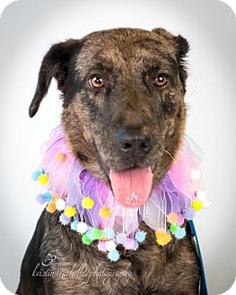 Catahoula Leopard Dog Dog for adoption in St. Louis Park, Minnesota - Muddy