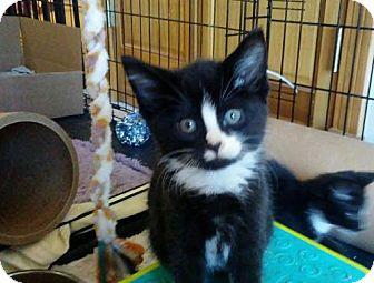 Domestic Shorthair Kitten for adoption in Rootstown, Ohio - Kitten - Frankie II - (male)
