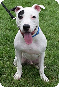 American Bulldog Mix Dog for adoption in Valparaiso, Indiana - Petey