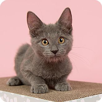 Domestic Shorthair Kitten for adoption in Wilmington, Delaware - BLT