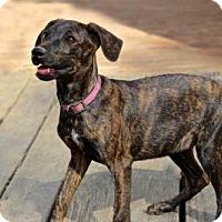 Adopt A Pet :: PUPPY COCO - Norfolk, VA