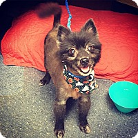 Adopt A Pet :: Gypsy - Davie, FL