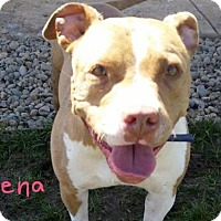 American Staffordshire Terrier Mix Dog for adoption in Sacramento, California - ZENA