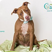 Pit Bull Terrier Mix Dog for adoption in Camarillo, California - *MAGGIE MAY