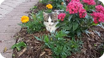 Domestic Shorthair Cat for adoption in Kohler, Wisconsin - Atticus