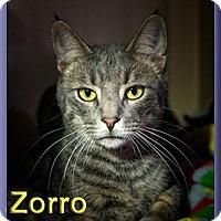 Domestic Shorthair Cat for adoption in Aldie, Virginia - Zorro