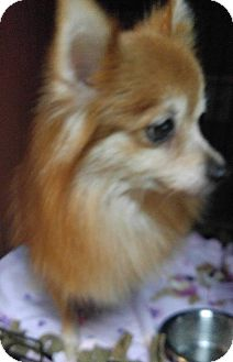 Pomeranian Mix Dog for adoption in Matthews, North Carolina - Ruby
