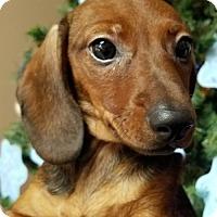 Adopt A Pet :: Amy in TN - Columbia, TN