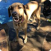 Adopt A Pet :: Sage - Redmond, WA