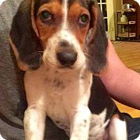 Adopt A Pet :: Karma - Winchester, VA