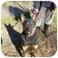 Photo 1 - Doberman Pinscher/Cardigan Welsh Corgi Mix Dog for adoption in No.Charleston, South Carolina - Poppy
