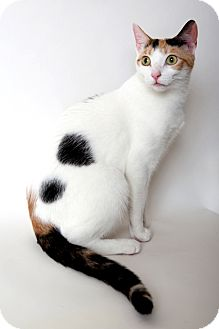 Domestic Shorthair Cat for adoption in Brooklyn, New York - Margaux