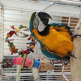 Macaw for adoption in Punta Gorda, Florida - Sydney