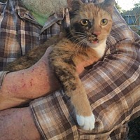 Calico Cat for adoption in Slidell, Louisiana - Callie