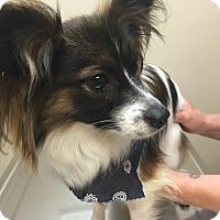 Adopt A Pet :: Colet - Las Vegas, NV