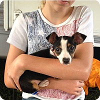 Adopt A Pet :: Tiny Tam (rbf) - Washington, DC