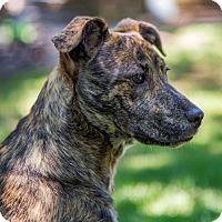 Adopt A Pet :: Caroline - Arlington, VA