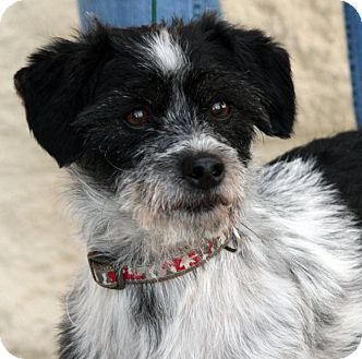 Terrier (Unknown Type, Small) Mix Dog for adoption in Palmdale, California - Charlie