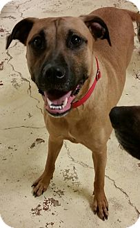 Boxer/German Shepherd Dog Mix Dog for adoption in Struthers, Ohio - Mahina 1 YR OLD