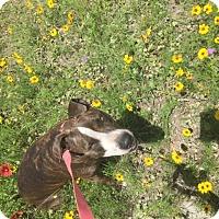 Adopt A Pet :: Chloe - Springtown, TX