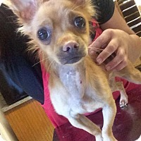 Chihuahua Mix Dog for adoption in Willows, California - Heather
