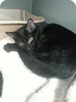 Domestic Shorthair Kitten for adoption in Paducah, Kentucky - Noir