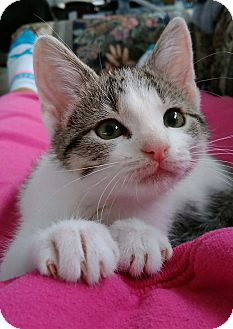 Domestic Shorthair Kitten for adoption in Austintown, Ohio - Sylvester