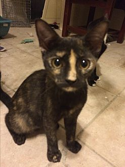 Calico Kitten for adoption in Sunny Isles Beach, Florida - Cara