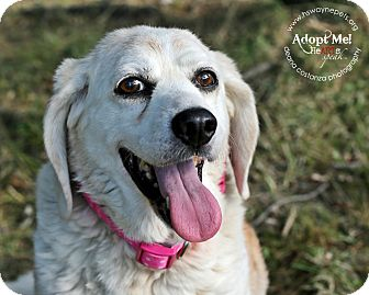 Beagle/Basset Hound Mix Dog for adoption in Lyons, New York - Daisy Mae