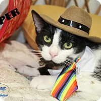 Domestic Shorthair Cat for adoption in Chambersburg, Pennsylvania - Tipper