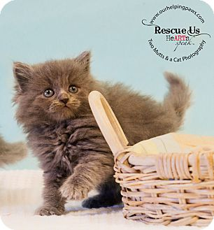 Domestic Longhair Kitten for adoption in Washburn, Wisconsin - Cascade
