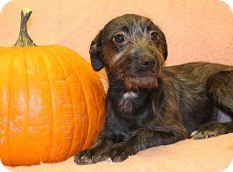 Australian Cattle Dog/Terrier (Unknown Type, Medium) Mix Puppy for adoption in Modesto, California - Britt