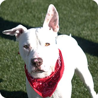 Terrier (Unknown Type, Medium) Mix Dog for adoption in Columbia, Illinois - Van Halen
