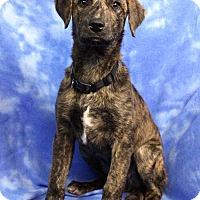 Adopt A Pet :: HUMPHREY - Westminster, CO