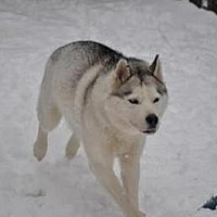 Siberian Husky Mix Dog for adoption in Shingleton, Michigan - Shiloh