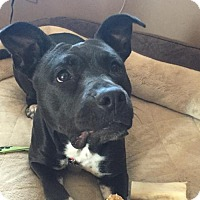 American Staffordshire Terrier/American Pit Bull Terrier Mix Dog for adoption in Morgantown, Indiana - AVALON-pending