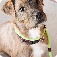 Adopt A Pet :: Molly Brown - DFW, TX