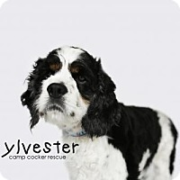 Adopt A Pet :: Sylvester - Sherman Oaks, CA