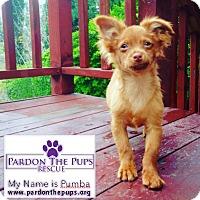 Adopt A Pet :: Pumba - Los Angeles, CA
