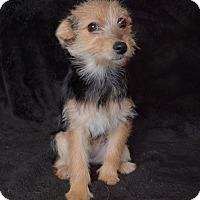 Adopt A Pet :: Kiki - Van Nuys, CA