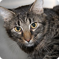 Adopt A Pet :: Stripey (Neutered) - Marietta, OH