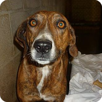Mountain Cur Mix Dog for adoption in Linden, Tennessee - Izzy