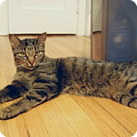 Domestic Shorthair Cat for adoption in Carlisle, Pennsylvania - Lilly