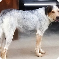 Great Pyrenees/Australian Cattle Dog Mix Dog for adoption in Kyle, Texas - Molly