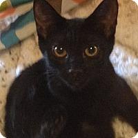 Domestic Shorthair Kitten for adoption in Lenhartsville, Pennsylvania - Edwina