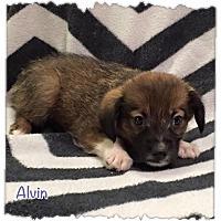 Adopt A Pet :: Alvin - Harmony, Glocester, RI