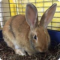 Adopt A Pet :: Bree - Woburn, MA