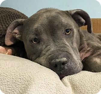American Pit Bull Terrier Dog for adoption in Fulton, Missouri - Kimono (MO)